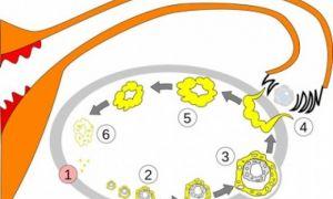 Что такое желтое тело в яичниках?