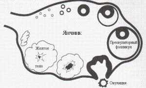 Что такое фолликулы и их значение в яичниках