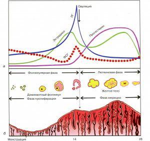 Фазы маточного цикла