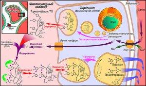 Метаболизм отдельных гормонов