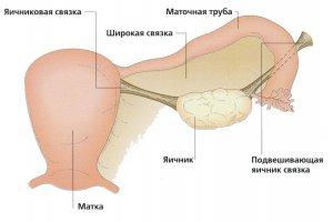Расположение органа