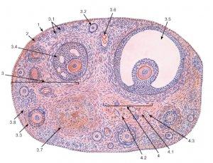 Виды клеточных соединений