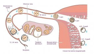 Процесс выхода и созревания яйцеклетки